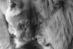 Lions in Love. Lions rubbing heads together at Whipsnade Zoo stock photography