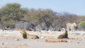 Lions lying down on the ground. Zebra defocused walking undisturbed in the background. Wildlife safari in the Etosha National Pa. Rk, main tourist attraction in Royalty Free Stock Photography