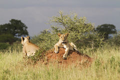 Lions lying on termite mound Stock Photography