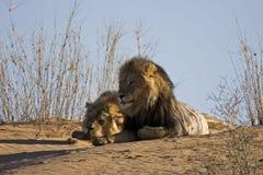 Lions mâles Image libre de droits