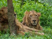 Lions mâles et femelles Image libre de droits