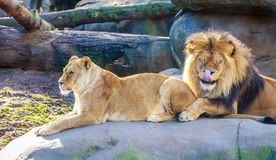 Lions Royalty Free Stock Images