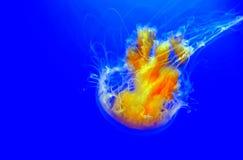 Lions mane jellyfish cyanea capillata in a aquarium royalty free stock image