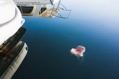 Lions Mane Jellyfish Cyanea capillata. Floating near moored yachts in Norwegian Sea Stock Photo