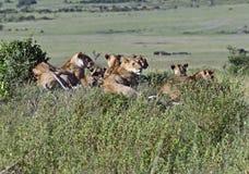 Lions Masai Mara Stock Photo