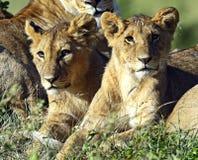 Lions Masai Mara Royalty Free Stock Photos