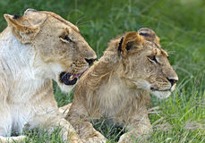 Lions Masai Mara Stock Photos