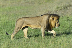 Lions Masai Mara Royalty Free Stock Photography