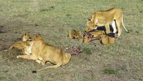 Lions in Masai Mara National Park Royalty Free Stock Photography