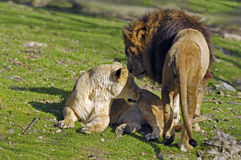 Lions mating Stock Images