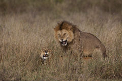 Lions Mating Royalty Free Stock Images