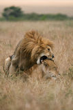 Lions mating. African lion and lioness having sex on plains of Masai Mara, Kenya Stock Photos