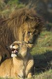 Lions Mating Stock Image