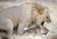 Lions mating. Royalty Free Stock Photography