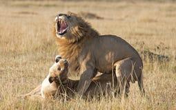 Lions mating. Africa kenya Masai Mara reserve lions mating stock photo
