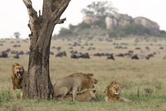 Lions mating Stock Photography