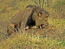 Lions Mating Royalty Free Stock Image