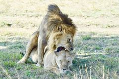 Lions mating. Lion and lioness reach the climax of their coupling Royalty Free Stock Images