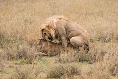 Lions mating. Male and female lion mating in Serengeti Royalty Free Stock Photography