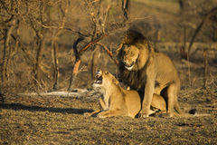 Lions mating in morning light Royalty Free Stock Images