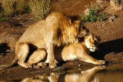 Lions mating n.1 Royalty Free Stock Image