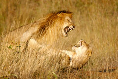 Lions mating n.2 stock images