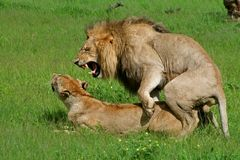 Lions mating, Okavango, Botswana Stock Photos