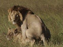 Lions mating - Panthera leo. Lions mating and looking at camera, Masai Mara, Africa Royalty Free Stock Photo
