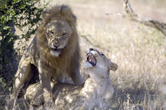 Lions mating. Royalty Free Stock Images