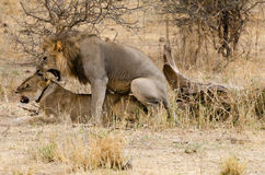 Lions Mating Royalty Free Stock Photos