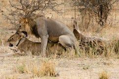 Lions Mating. Tarangire National Park, Tanzania royalty free stock photos