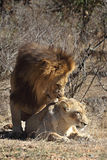 Lions mating. These lions were photographed during an intense mating session in Kruger National Park in South Africa. Lions are part of the Big 5, the five most royalty free stock photography