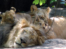 Lions-naptime for dad Royalty Free Stock Photo