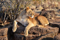 Lions near Victoria Falls in Botswana, Africa. Lions near Victoria Falls in Botswana, one of the big cats in the genus Panthera and a member of the family Stock Photo