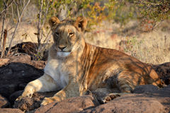 Lions near Victoria Falls in Botswana, Africa. Lions near Victoria Falls in Botswana, one of the big cats in the genus Panthera and a member of the family Stock Images