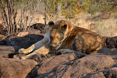 Lions near Victoria Falls in Botswana, Africa. Lions near Victoria Falls in Botswana, one of the big cats in the genus Panthera and a member of the family Royalty Free Stock Image