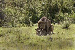 Lions (panthera leo) Stock Images
