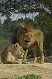 Lions (Panthera leo). A lion and a lioness stock photos