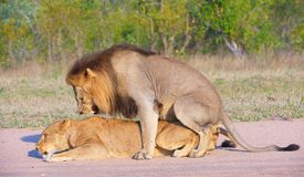 Lions (panthera leo) mating in the wild royalty free stock images