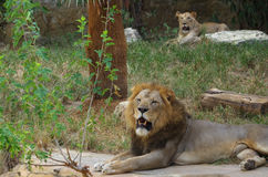 Lions. (Panthera leo) resting on a hot morning at the San Antonio Zoo Stock Photography