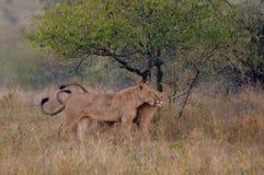 Lions (panthera Lion) Photo libre de droits