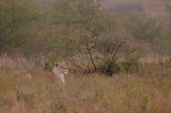 Lions (panthera Lion) Images stock