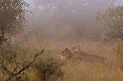 Lions (panthera Lion) Image stock
