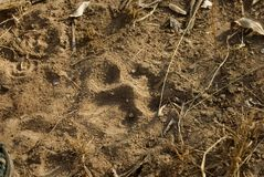 Lions pawprint. Pawprint of a lion captured at the kruger nationalpark in southafrica stock image