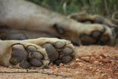 Lions paws Stock Images
