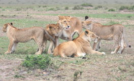 Lions Play. A group of lions play on the Masai Mara during September Stock Photos