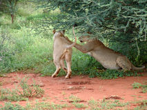Lions at play. Lions playing in the sun stock photos