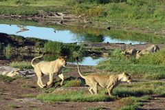 Lions At Play. Near water hole in Africa Stock Photos