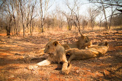 Lions playing Royalty Free Stock Photo