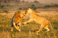 Lions playing Royalty Free Stock Photos